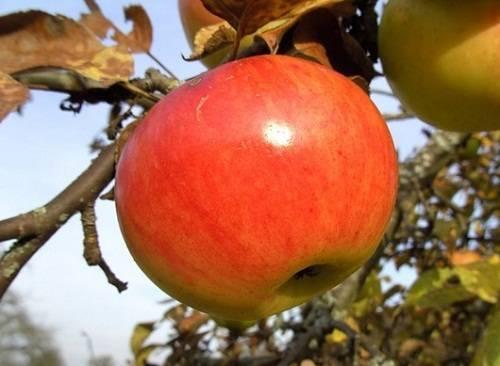 Обрезка старой яблони осенью схема