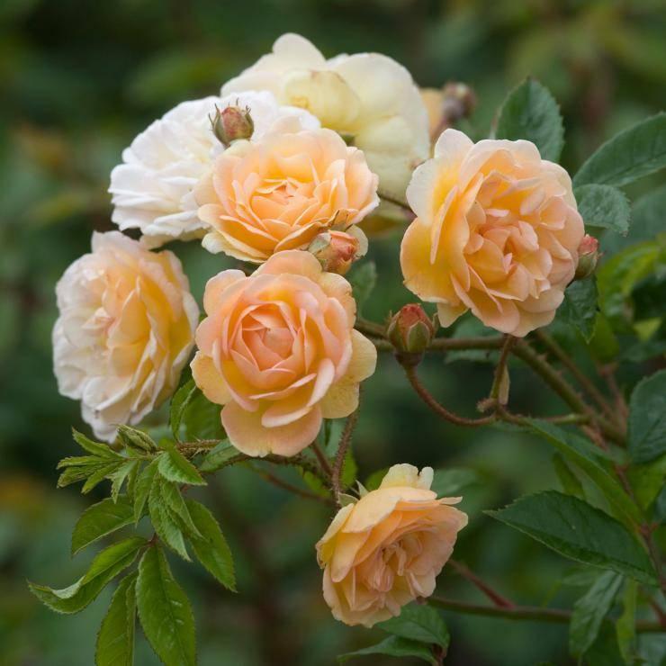 Выращивание роз в сибири
