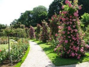Канадская плетистая роза
