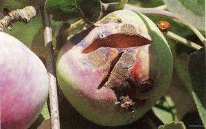 Парша на яблоках как бороться
