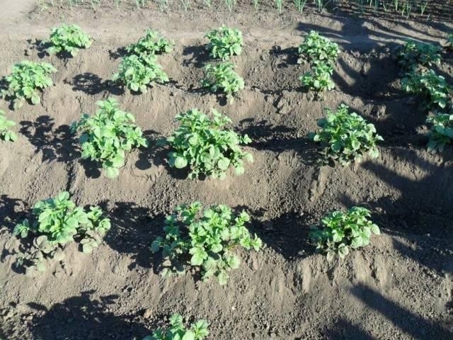 Какой газон посадить чтобы сорняки не росли