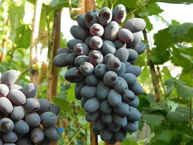 Самый вкусный виноград в мире