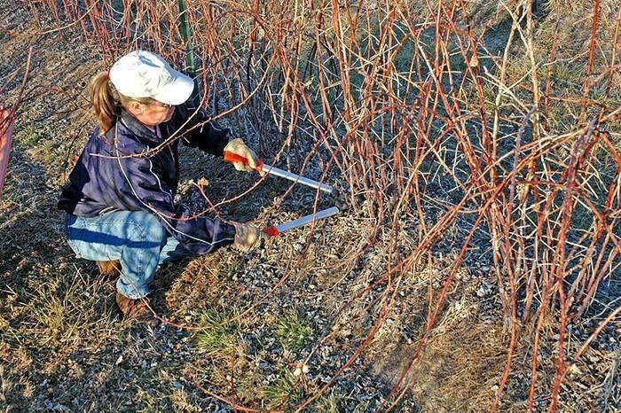 Ежевика уход осенью подготовка к зиме