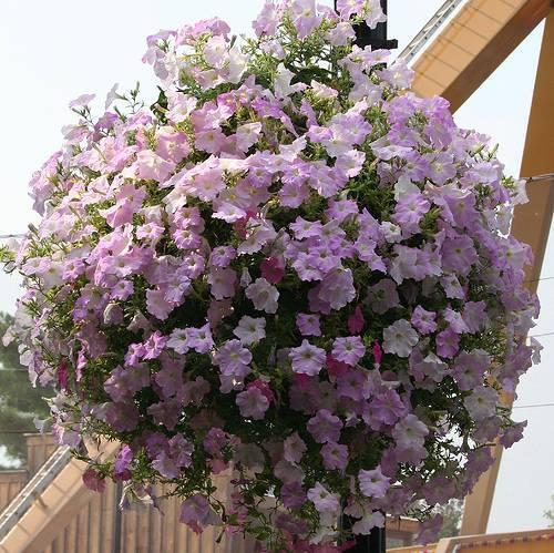 Садовые цветы в горшках фото и названия