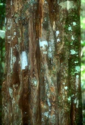 Дерево без ствола