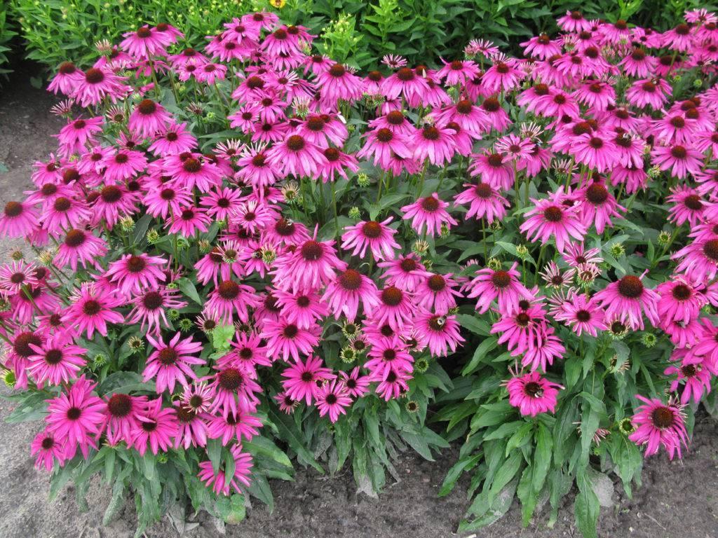 Цветы для бордюров многолетние