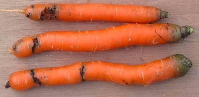 Морковь червивая что делать