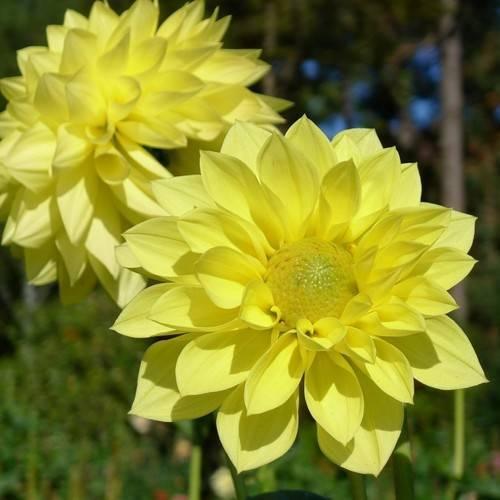 Желтые садовые цветы фото и названия