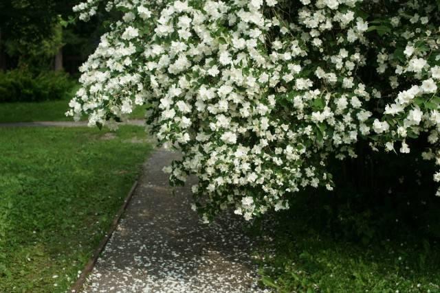 Кустарник цветущий розовыми цветами