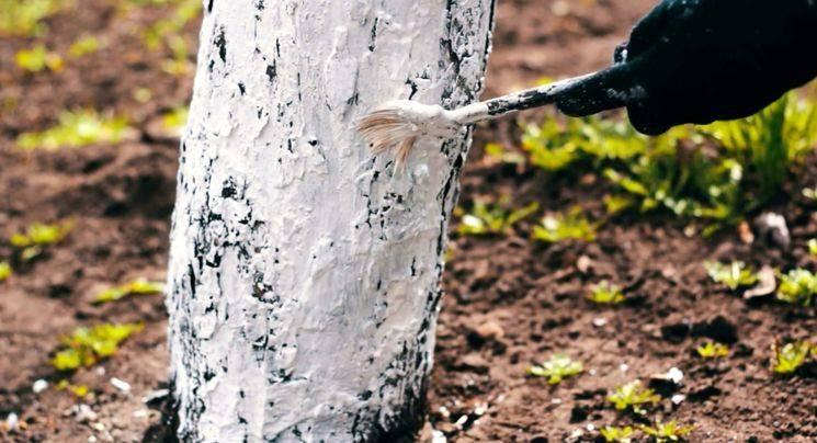 Когда лучше белить деревья осенью или весной