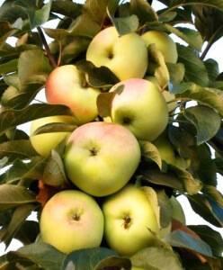 Яблоня бумажное