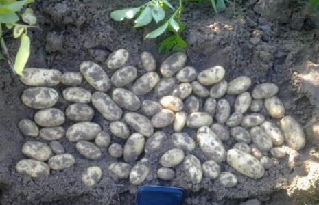 Картофель гранд описание сорта фото
