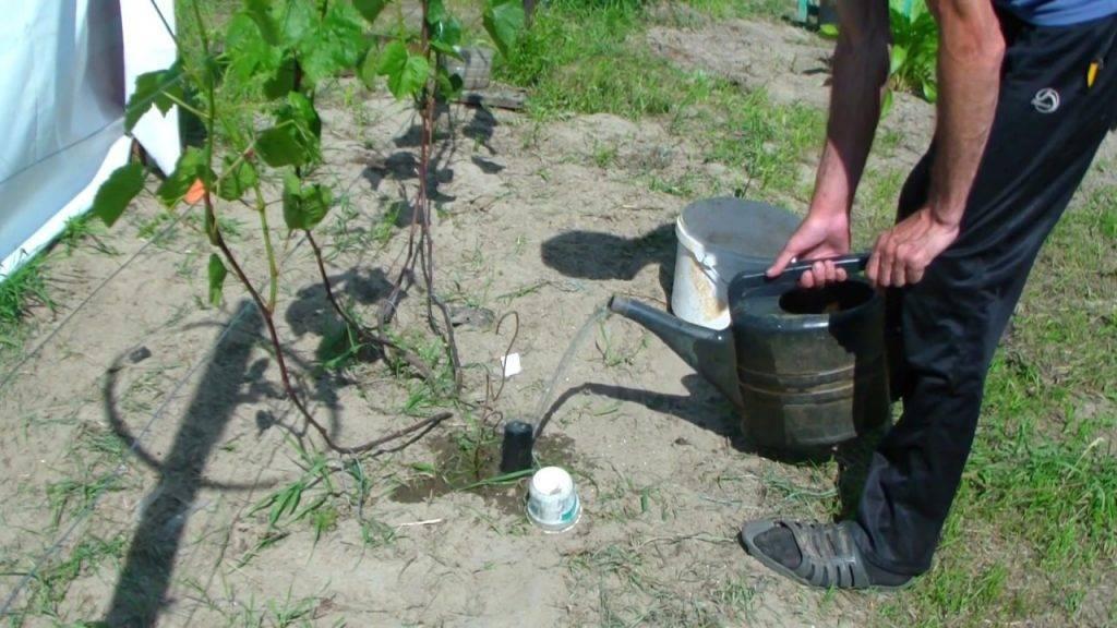 Чем подкармливать виноград осенью