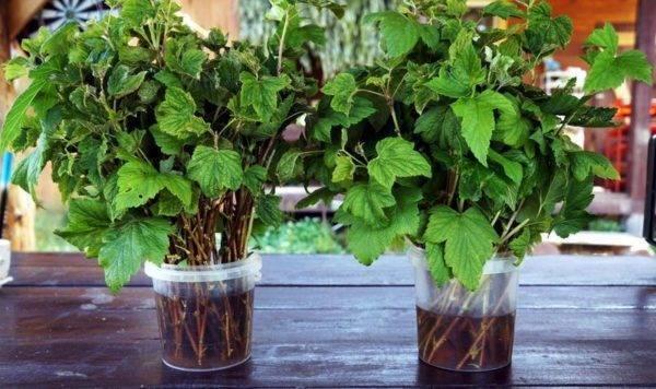 Как размножить красную смородину черенками осенью