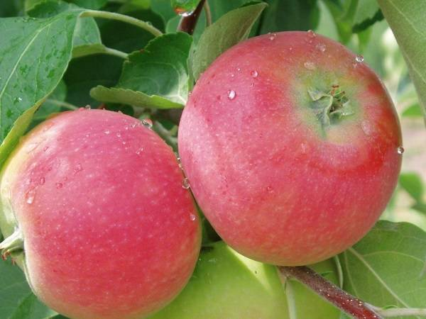 Сорт яблок земляничка
