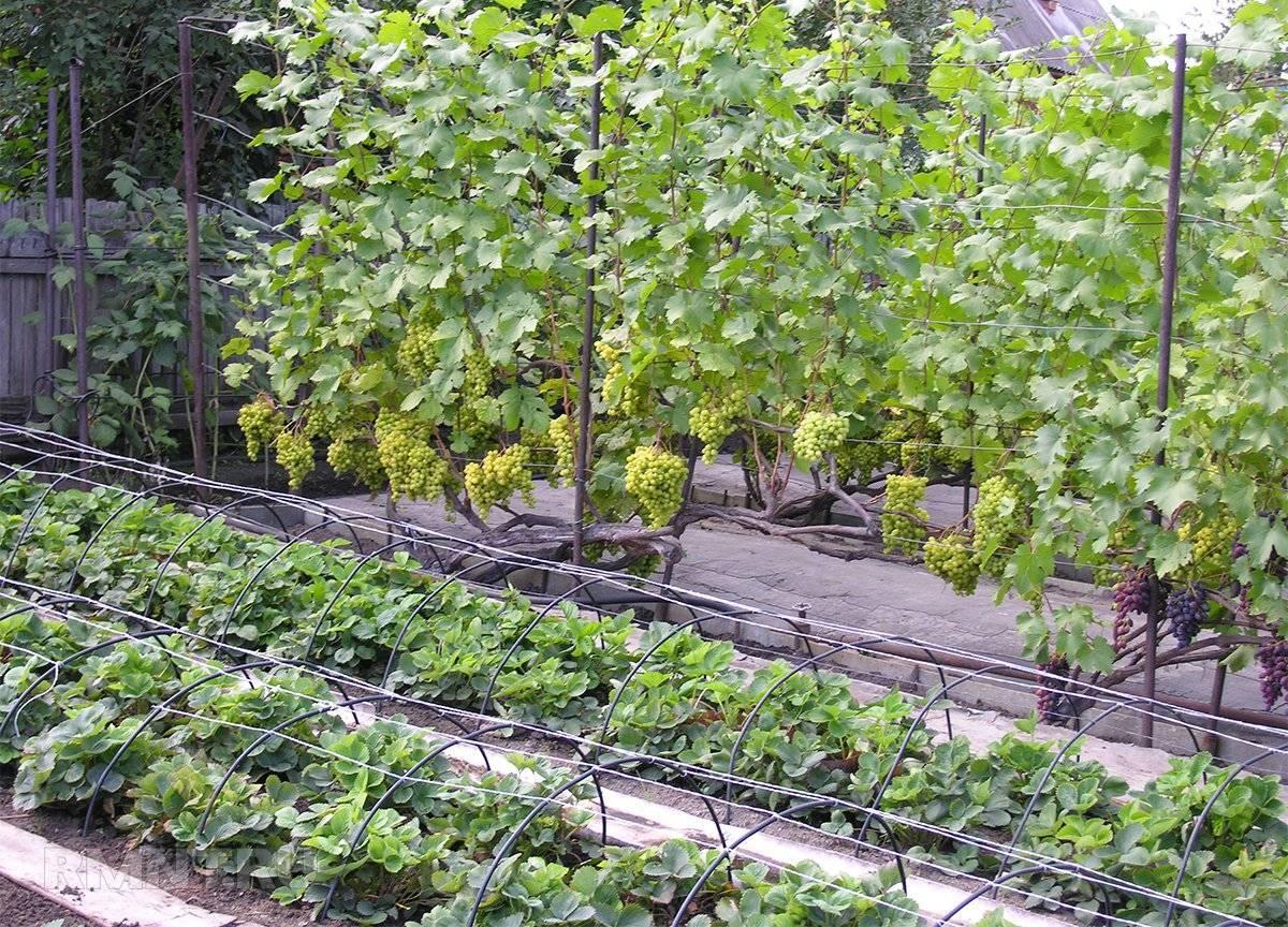 Что можно посадить рядом с виноградом