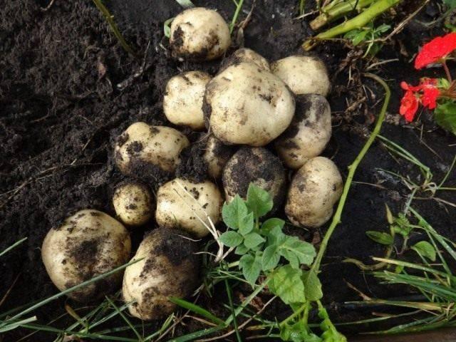 Как выращивать картофель из семян