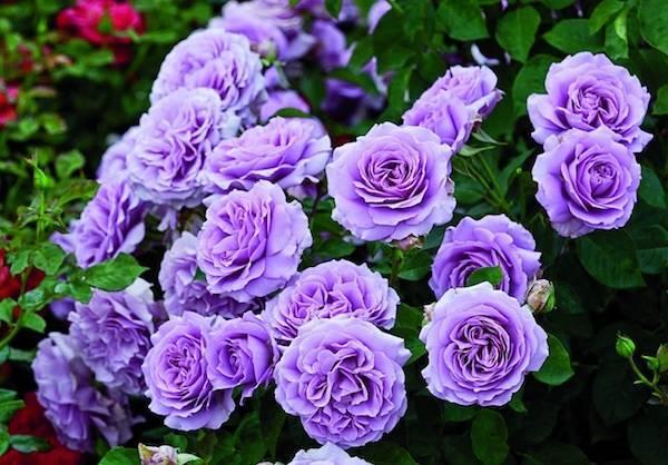 Сколько листиков должно быть у розы
