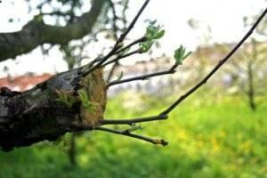Прививание яблонь весной