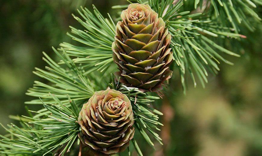 Хвойные растения картинки