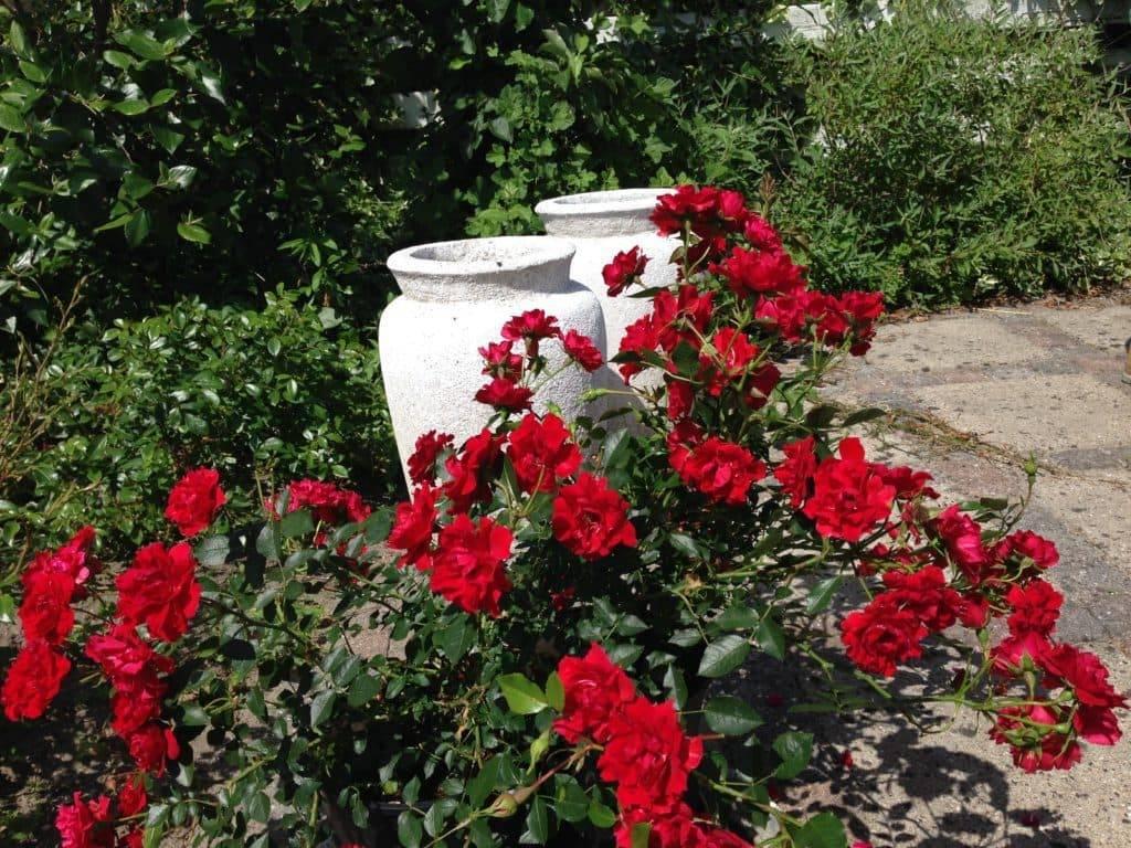 Роза спрей лидия