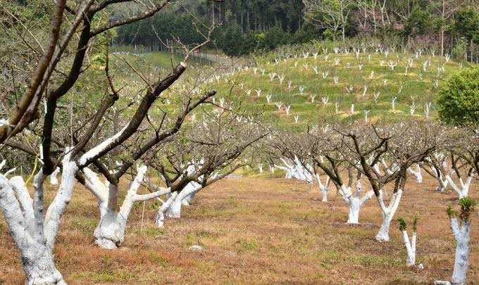 Как омолодить яблоню осенью