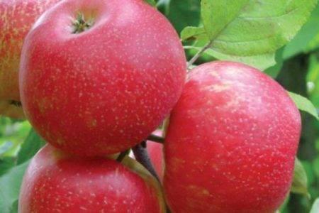 Сорта яблок зеленого цвета