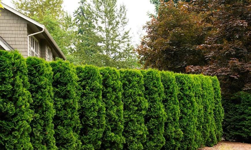 Зеленые кустарники