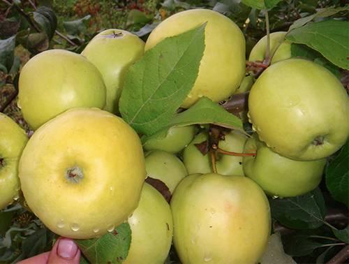 Яблоня чудное описание сорта