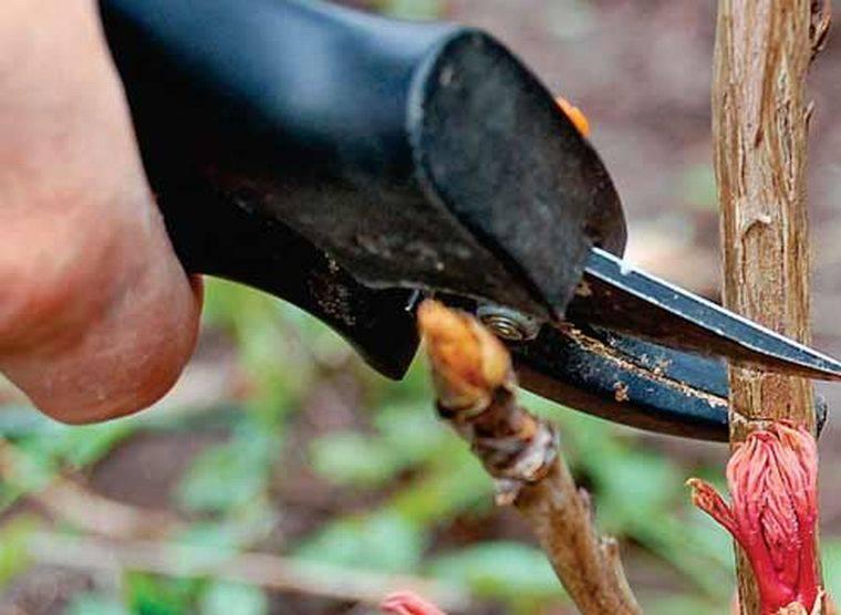 Пионовидное дерево фото