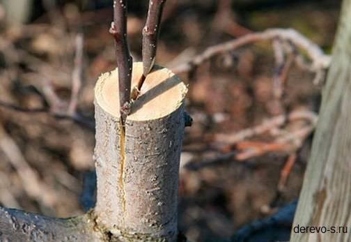 Болезни ствола яблони фото