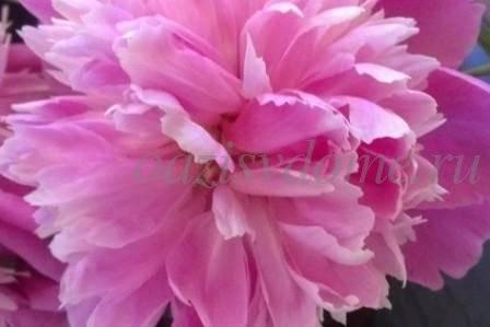 Почему не цветут пионы что делать