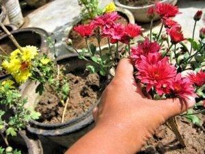 Надо ли выкапывать хризантемы на зиму