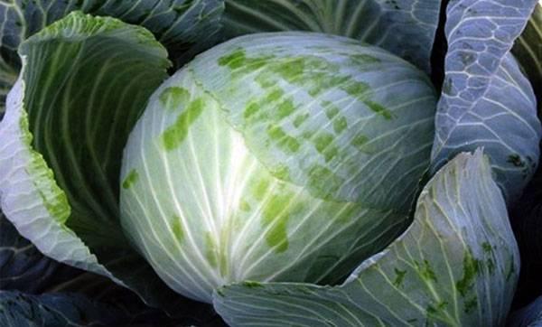 Лучшие сорта капусты для засолки и квашения