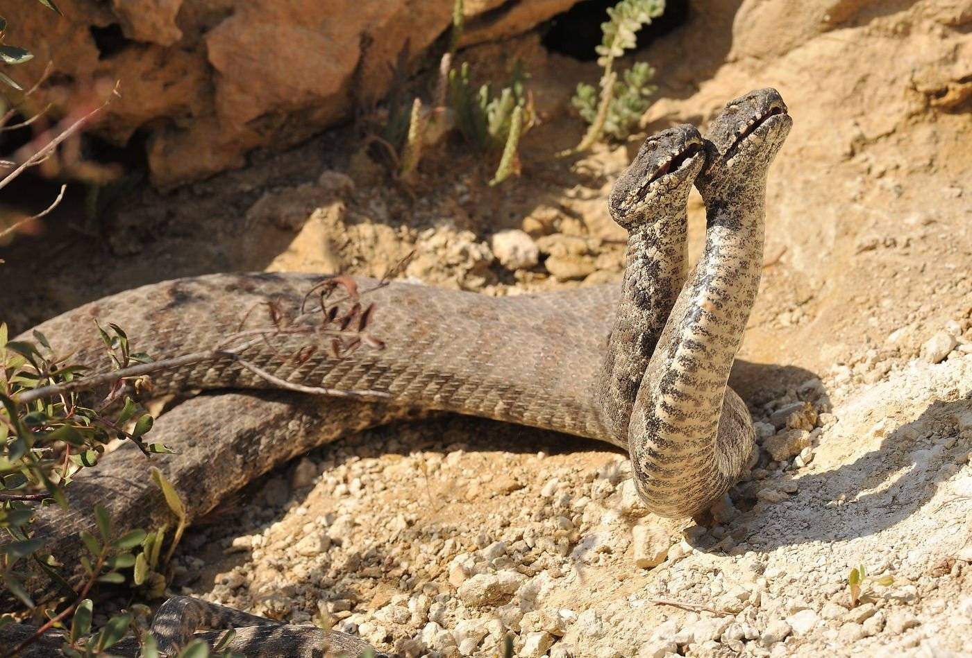 Ядовитые змеи средней полосы россии