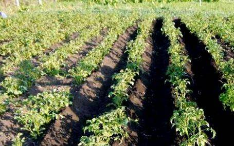Почему картошка внутри пустая