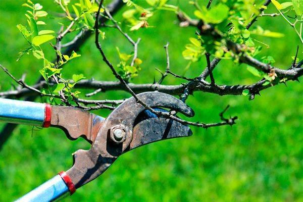 Можно ли сейчас обрезать плодовые деревья