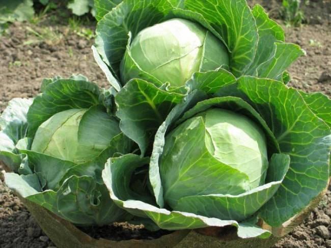 Засолочные сорта капусты белокочанной