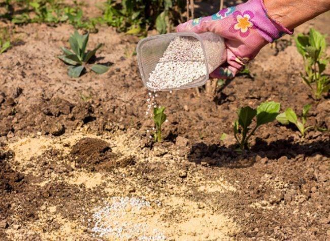 Изотома выращивание из семян когда сажать