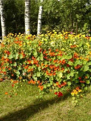 Семена настурции фото