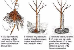 Как садить черешню