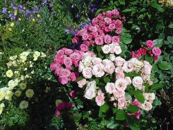Розы спрей сорта фото описание