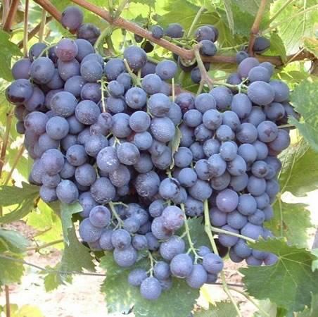 Сорта винограда для красного вина