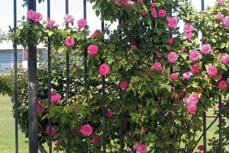 Как подготовить плетистую розу к зиме