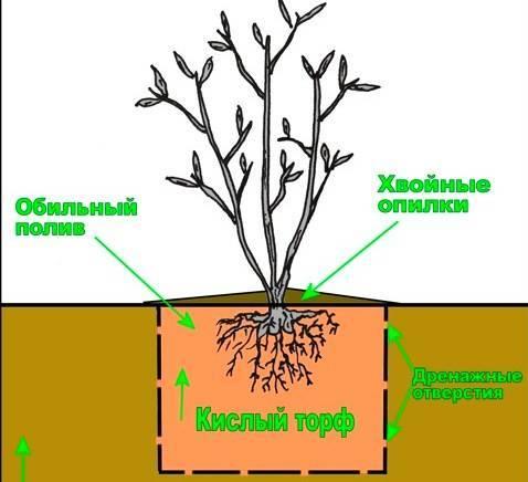 Как закислить почву для голубики