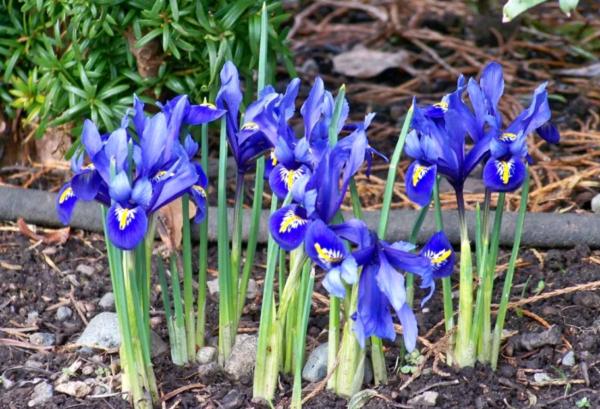 Уход за ирисами после цветения