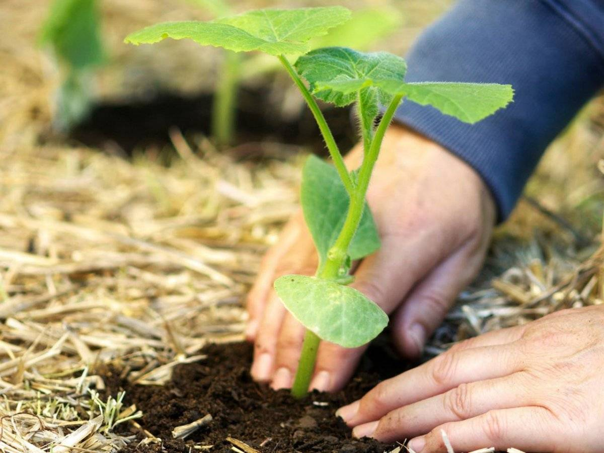 Когда сажать тыкву на рассаду