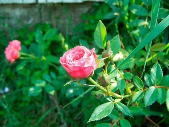 Низкорослые розы сорта