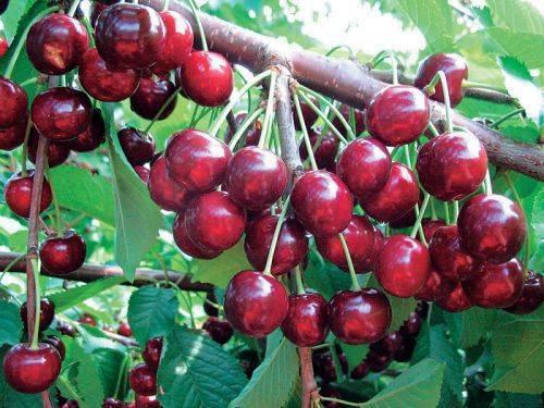 Как правильно посадить черешню осенью