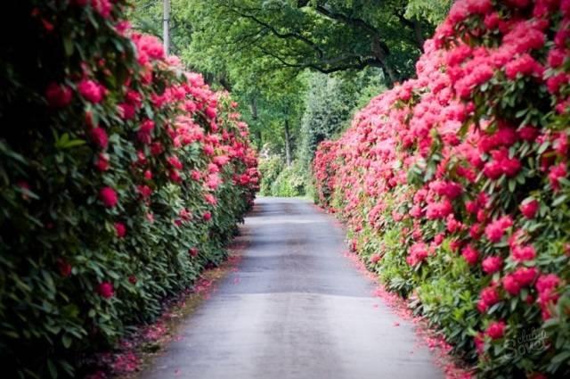 Роза квадра канадская